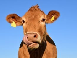 """Cow """"Masks"""" To Absorb Methane? Cargill Thinks It Could Work - Carbon Herald"""